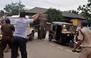 عکس/ به دام انداختن یک فیل وحشی