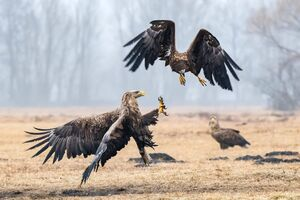 عکس/ جنگ عقابها