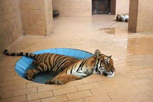 آبتنی ببر داخل استخر در یکی از قفسهای یک باغ وحش در شهر لاهور پاکستان در آب و هوای گرم و مرطوب