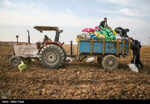 سیبزمینی را از کشاورزان چقدر میخرند؟
