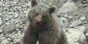 دستگیری متهم به اتلاف یک قلاده خرس در سوادکوه