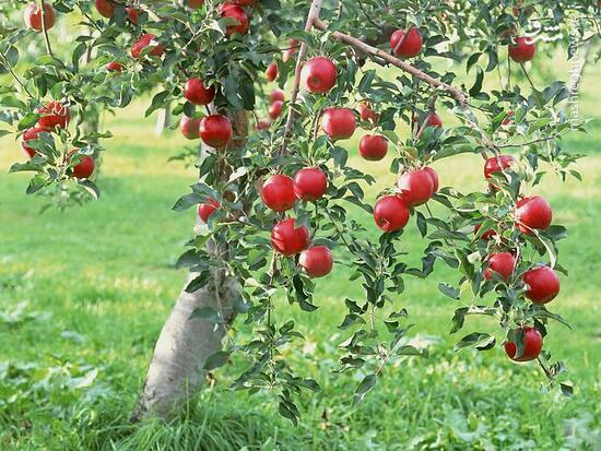فیلم/ چرا در کوچهها و پارکها درخت میوه نمیکاریم؟