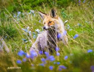 عکس/ روباه زیبای ایرانی