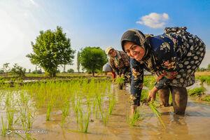 عکس/ فصل نشاء کاری برنج