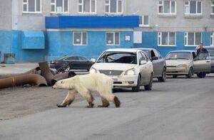 عکس/ خرس قطبی سرگردان