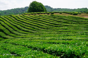 عکس/ مزارع چای در روسیه