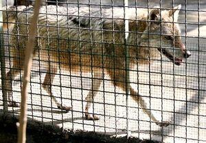 گرگ های باغ وحش ارم معدوم شدند