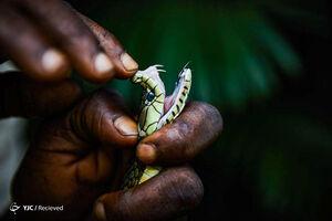 عکس/ جنگلهای پر از مار کنگو