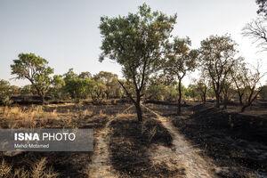 عکس/ آتش در دل درختان باغستان هزار ساله قزوین