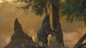 عکس/ ایستادن فیل روی دو پا