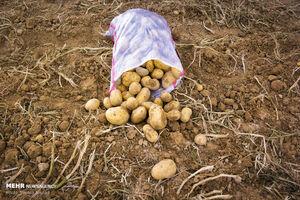 تفاوت ٥٠ درصدی قیمت سیبزمینی از عمدهفروشی تا مغازه