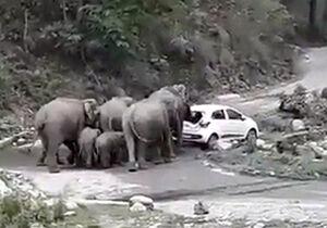 فیلم/ حمله فیلهای عصبانی به خودروهای گردشگران!