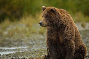 با خرسها چشم در چشم نشوید