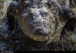 گاندو تمساح ایرانی