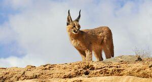 عکس/ گربهسانی زیبا در حیات وحش یزد