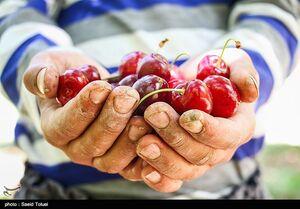 «کشاورزی» ناجی اقتصاد| افزایش ۴ برابری قیمت میوه از باغ تا مغازه/دلالان سرسفره کشاورزان