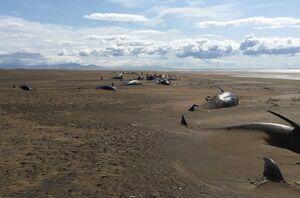 عکس/ کشف لاشه دهها نهنگ در ایسلند
