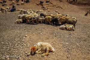 واردات نهادههای دامی در انحصار حلقهای خاص