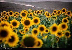 عکس/ پرورش آفتابگردان در شیروان