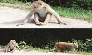 حمله میمونهای وحشی به سیاهکل