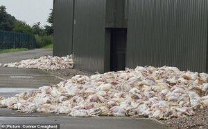 عکس/ مرگ کم سابقه مرغ ها در اثر گرما