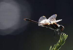 عکس/ نمای نزدیک از سنجاقک