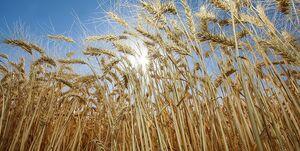 ترکیب فضولات حیوانی با گندم توسط کارکنان شرکت غله
