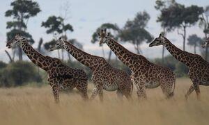 رژه زرافهها در پارک ملی کنیا