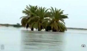 فیلم/ برداشت رطب نوبرانه از نخلهای غرق شده خوزستان