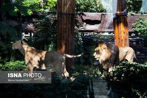 عکس/ آغاز زندگی مشترک شیرهای ایرانی