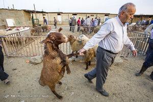 عکس/ بازار فروش دام عید قربان در همدان