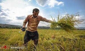 قیمت برنج طی یک سال ۱۰۰ درصد گران شد