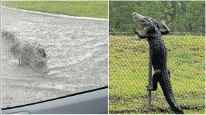 عکس/ ورود تمساح به پایگاه نظامی آمریکا