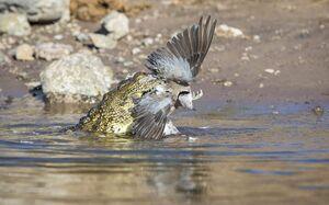 عکس/ شکار یک پرنده توسط تمساح