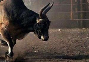 فیلم/ وقتی گاو وحشی به هدف می زند!