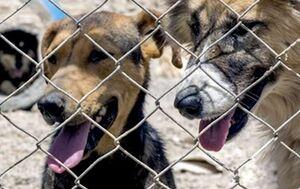 کشتار سگهای ولگرد در دستور کار شهرداری کرج نبود