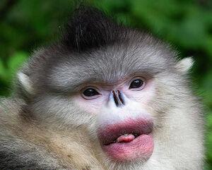 عکس/ گونههای عجیب و غریب میمونها