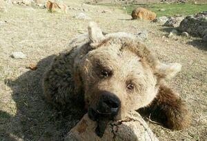 زنده گیری خرس/ توله نر به تهران منتقل شد