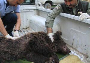 مرگ توله خرس در مرکز نگهداری سازمان حفاظت محیط زیست