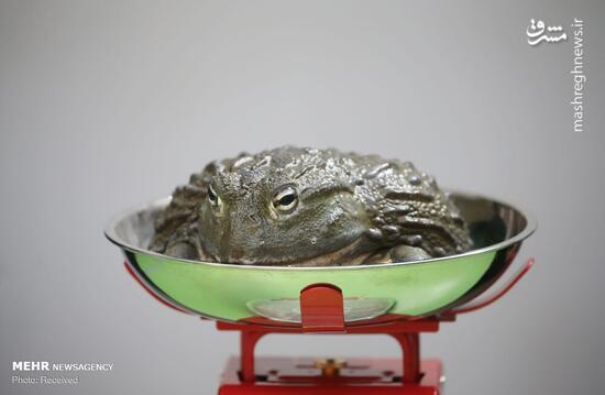 عکس/ وزن کشی سالانه در باغ وحش لندن