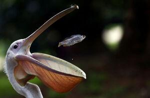 عکس/ شکار دیدنی ماهی توسط پلیکان