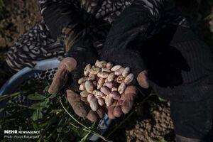 عکس/ برداشت بادام زمینی در آستانه اشرفیه