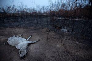 تصویری دردناک از آتش سوزی آمازون