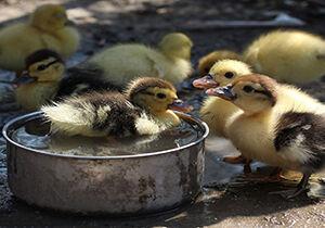 فیلم/ رژه دیدنی جوجه اردکها