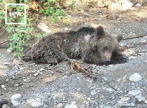 عکس/ مرگ دردناک توله خرس در استان گلستان