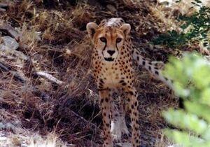 اسارت؛ هدیه سازمان محیط زیست به یوزپلنگ +عکس
