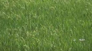 فیلم/  کاشت برنج با طعم فاضلاب در لرستان