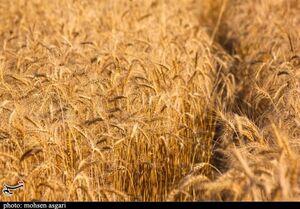 پیشنهاد قیمت ۲۸۰۰ تومانی گندم در سال زراعی جدید