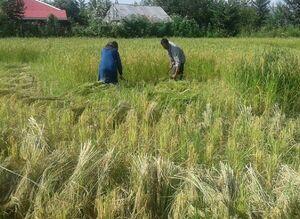 قیمت برنج در تهران باید حداکثر ۲۳ هزارتومان باشد