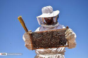 عکس/ برداشت «عسل» در اراک